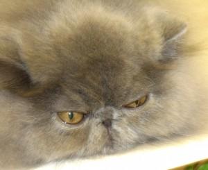 Best Kitten - CFA Santa Monica 8-2011