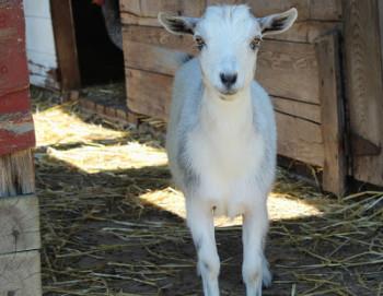 Abigal - Meet The Goats