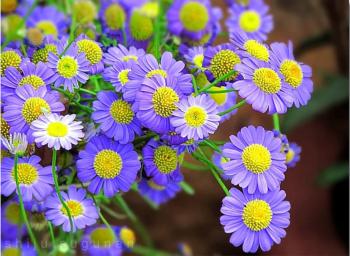 Shiju - Blue Daisies