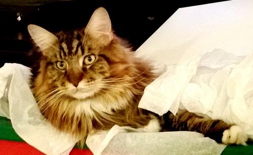 Magellan - 2015 Christmas Kitty